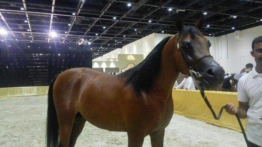 Times team to analyse Dubai International Horse Fair 2018